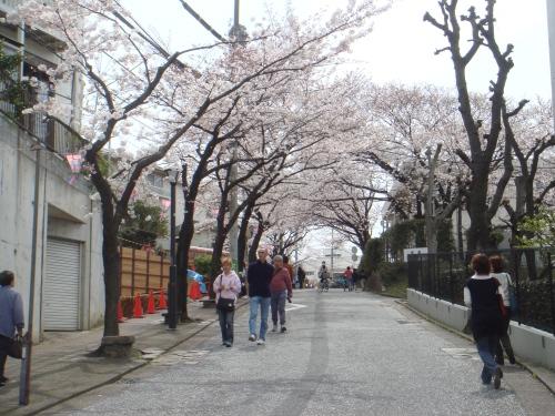 桜・・・ほぼ満開です!