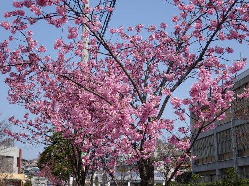 おかめ桜、満開かな?
