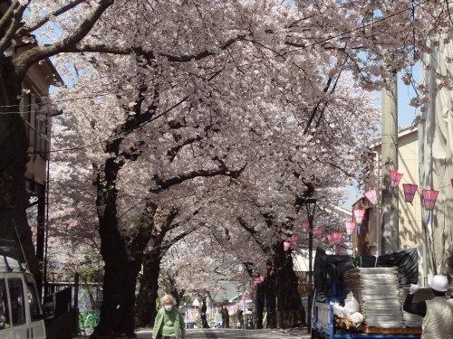 桜道の桜、満開です♪