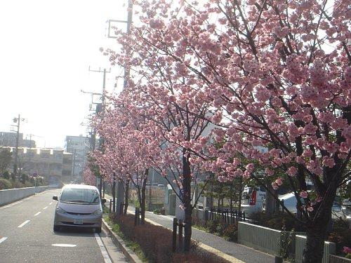おかめ桜がもう満開♪