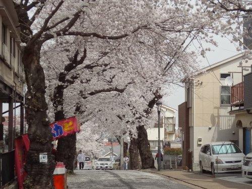 桜道の桜、早くも満開!!