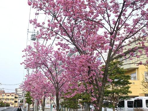 おかめ桜、満開みたい?