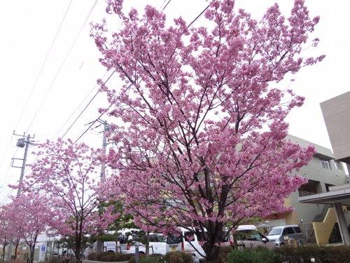 おかめ桜、ほぼ満開です