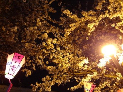 桜道の桜、すでに満開!