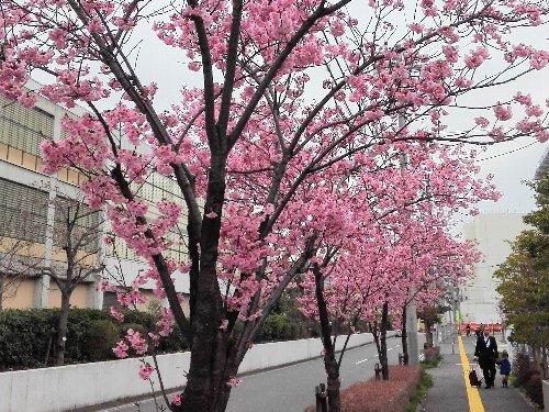 おかめ桜、いっきに満開!