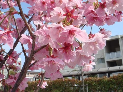 桜・・・まだまだです