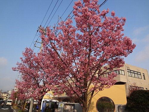 お待たせしました。やっと満開!おかめ桜