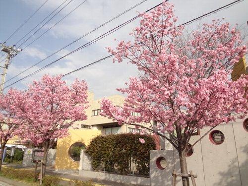 おかめ桜、すでに満開!!