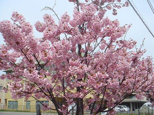 早咲きのおかめ桜がやっと満開!