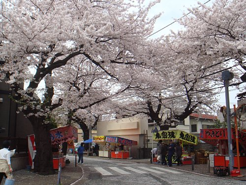 今年も満開!桜道の桜祭り