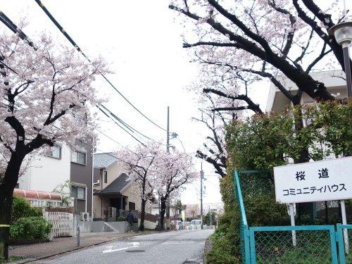 桜道の桜 満開になりました!